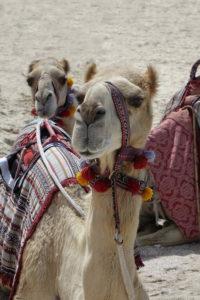 Kamela am Strand