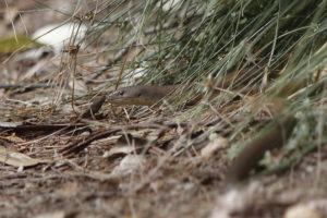 Schlangen in Australien.