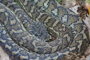 Eine riesige Python im Lamington Nationalpark