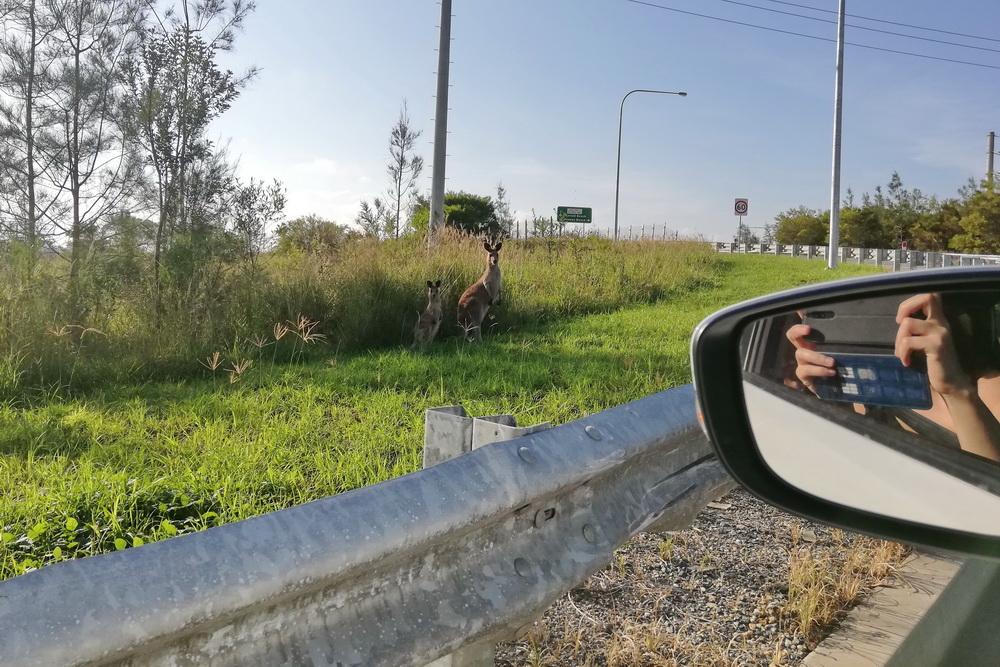 Kängurus an der Autobahn