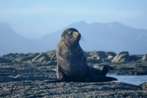 Seal in Kaikoura