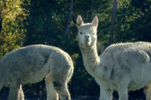 Alpakafarm mit dem WHV in Neuseeland