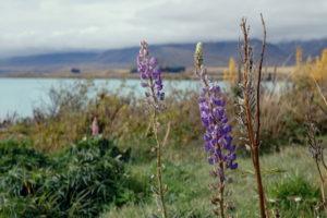 Frühling in Neuseeland mit Lupinen im November