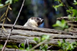 Tierwelt Sequoia Nationalpark Marmot Murmeltier